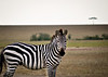 Zebra at Maasai Mara, Kenya. (Photographer: Ron)
