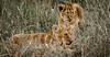 Lion cubs at Maasai Mara, Kenya.