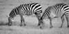 Zebras at Maasai Mara, Kenya.
