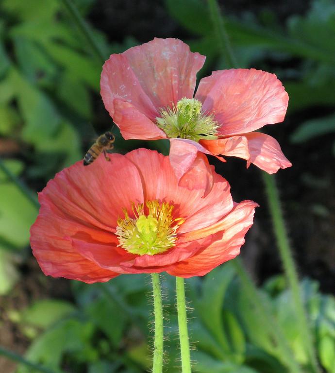 Poppies in the Alcazar Garden