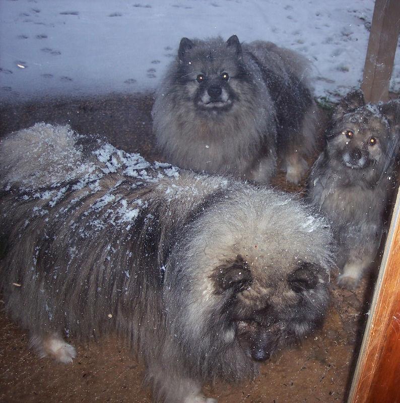 Snow covered Keesies!