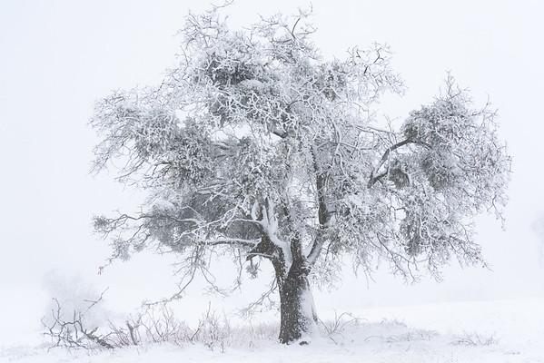 White Cloaked Oak