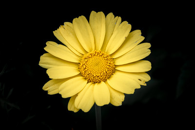 Sunflower on Black