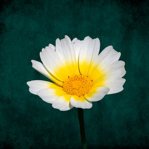 Daisy for You