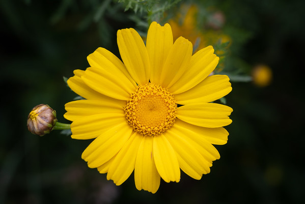 Lemon Cream Daisy