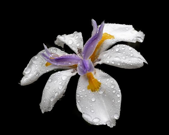Drops on Iris
