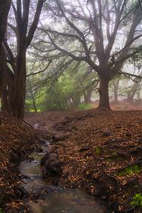 Oak beside the Stream