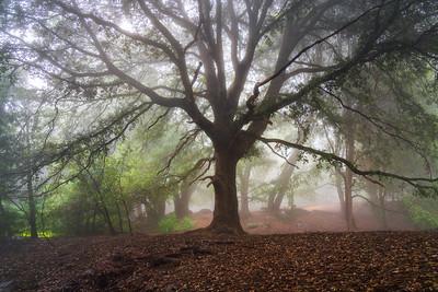 Branching Oak