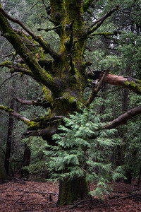 Cedar and Oak