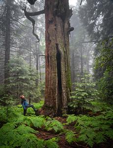 Grand Incense Cedar