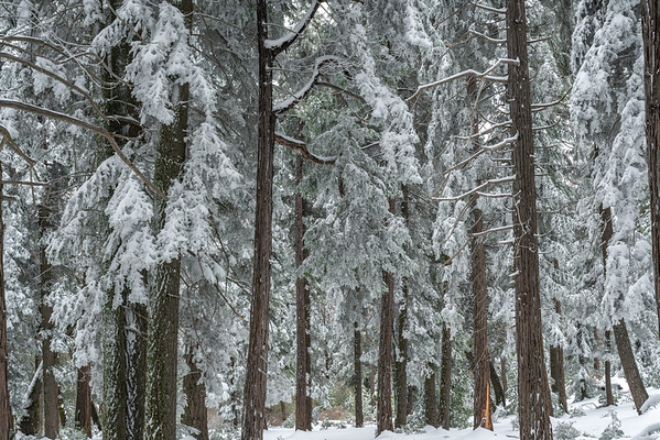 Forest with Fresh Snow