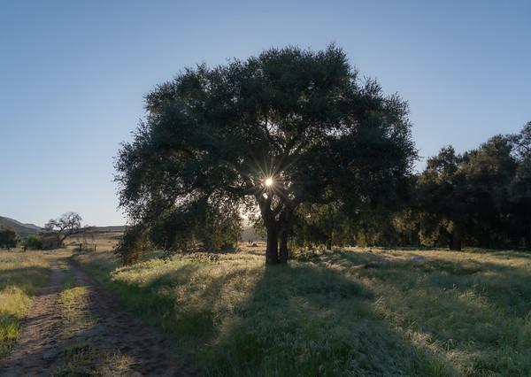 Old Oak along the Road