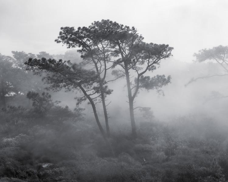 Torrey Pines in a Mist