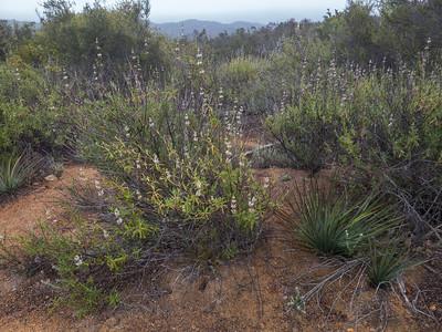 Black Sage & Yucca