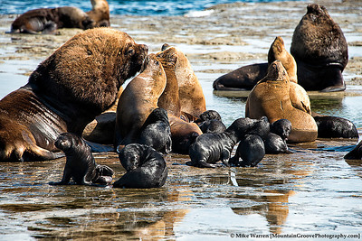 Lobos Marinos (Sea Lions).  Here you see the male, female and babies!