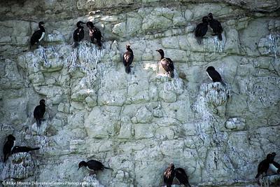 Cormorands
