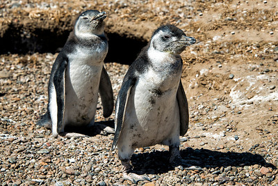 A juvenile Magellan Penguin.  With the look on his face, if he or she were a human I would expect him/her to be pierced, tattoed, and wearing pants around the knees!