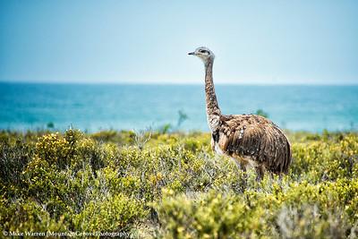 Rhea, an ostrich like bird