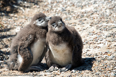 Baby penguins, having not yet lost their fir
