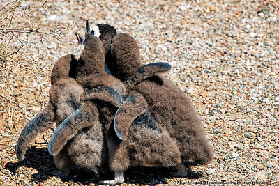 Baby penguins flock around their mother!