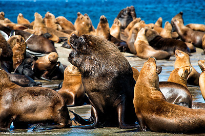 A male Sea Lion, with his harem.  Male Sea Lions will go months without eating to watch over their harem of females, and prevent another male from stealing one of the females!