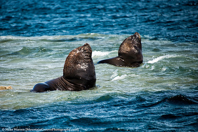 Male Sea Lions.