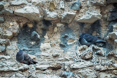 Roosting pigeons in the Roman and Medieval Wall.