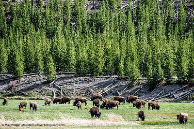 Bison, everywhere in Yellowstone