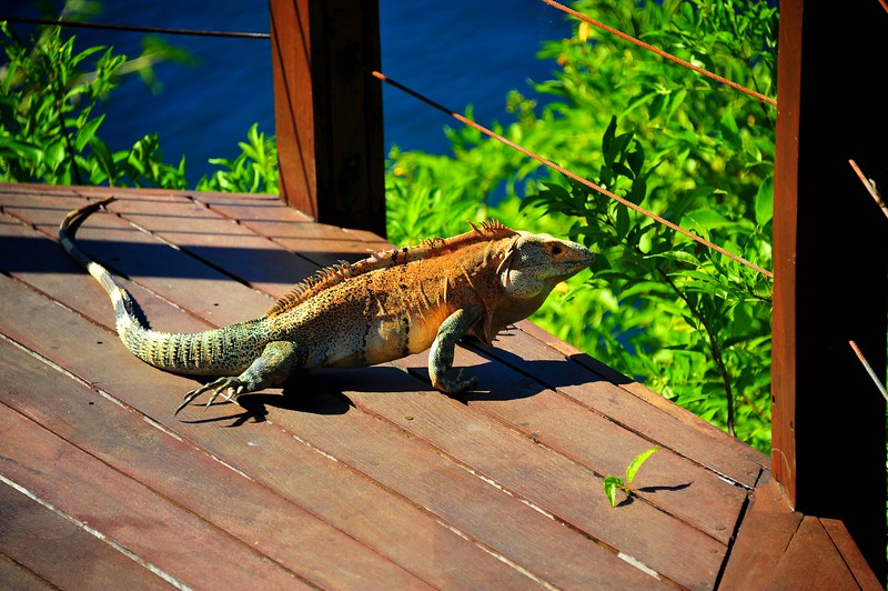 The second Iguana I ever met in the wild out in Playa Ocotal.