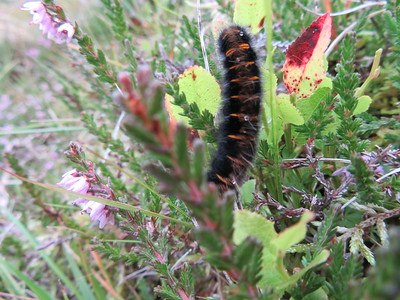 Fox moth caterpillar