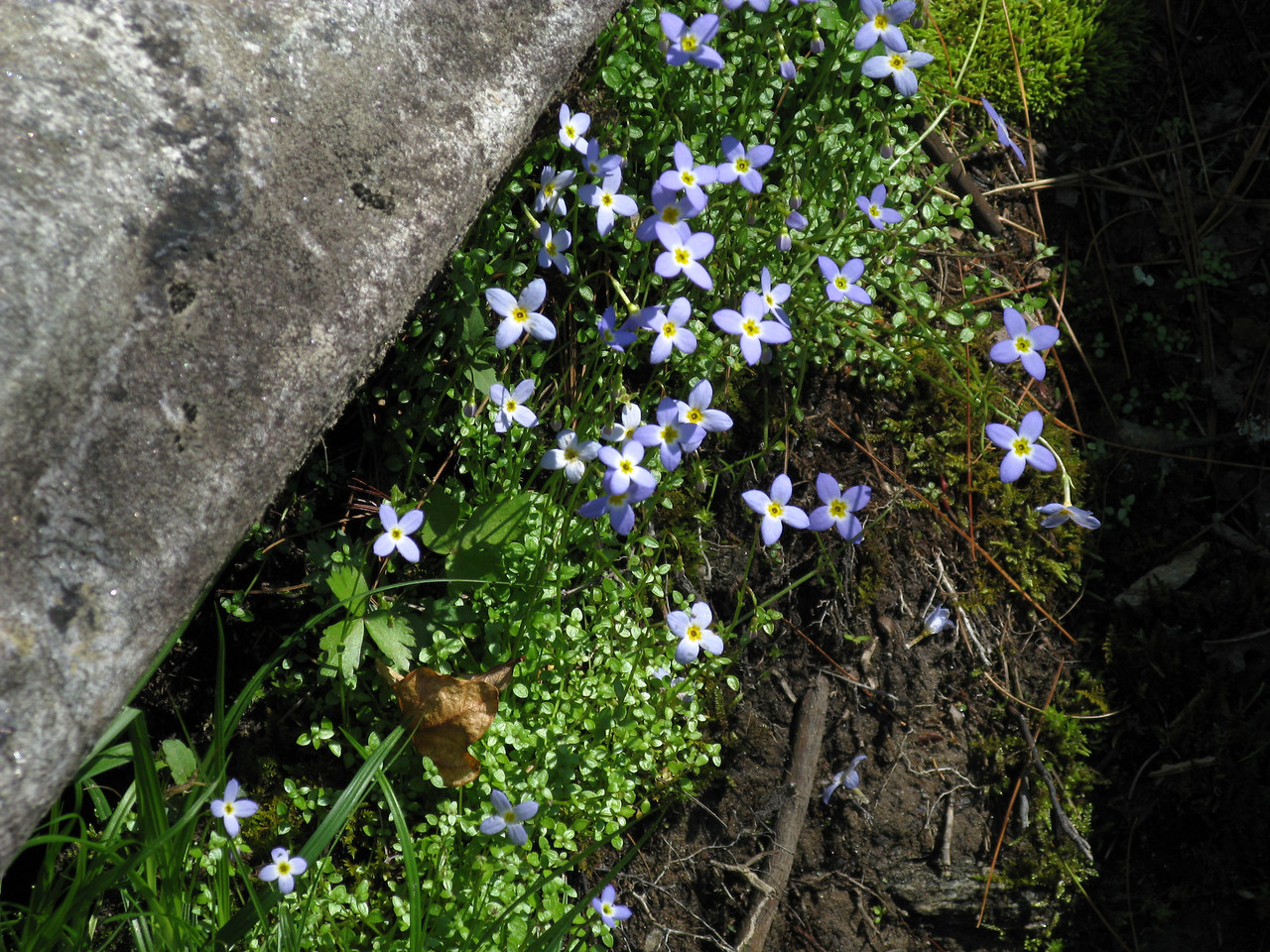 Bluets<br /> Hooker Falls<br /> Dupont Forest State Park<br /> April 24, 2008