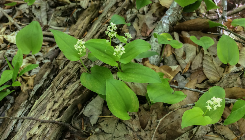 False or wild lily of the valley