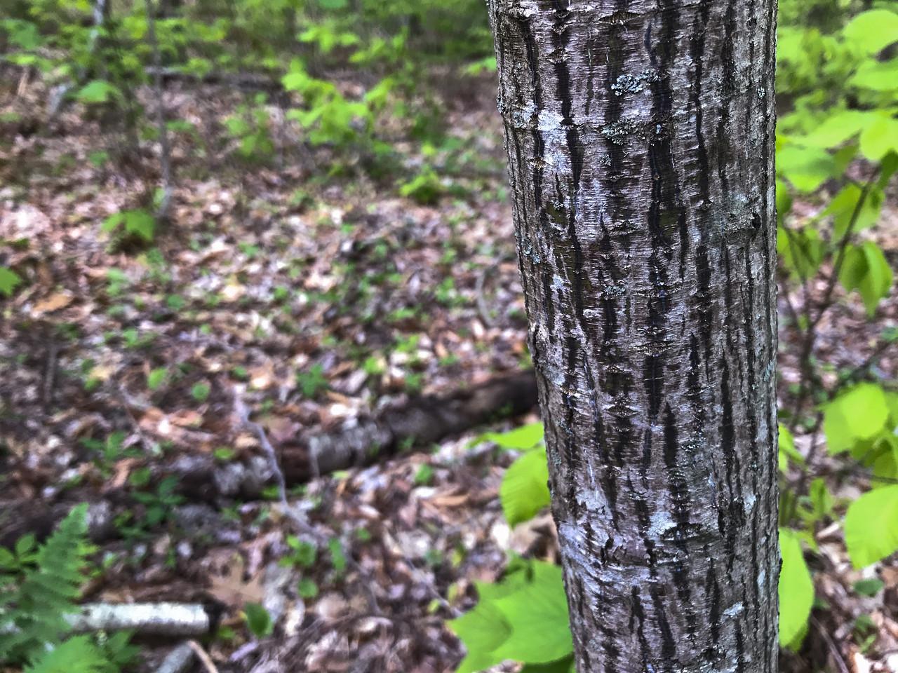 Striped maple