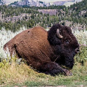 Bison I have known  -- and other things
