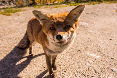 Mr Fox at Praviou, Gran Paradiso National Park, Italy