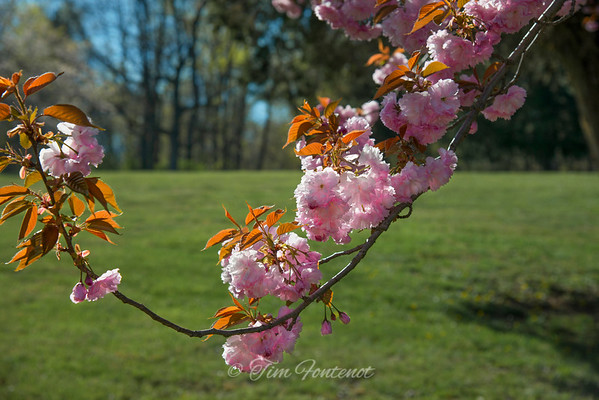 Cherry Blossoms in Amish Country, Pa.