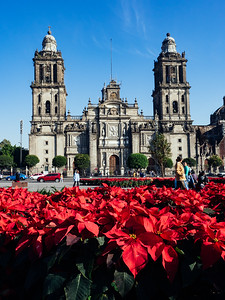 Poinsettias in the square