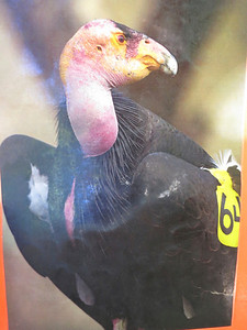 Yes, condors are the largest birds in North America - and among the least attractive (unless you're a condor).