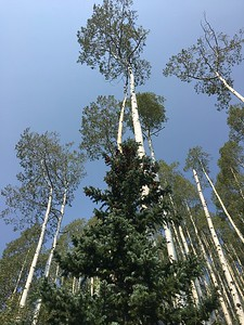 The aspen overlooks its partner.