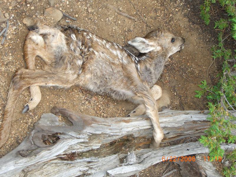 Fawn's hoof got caught in old tree limb on ground and it could not escape.  Too bad we didn't arrive a few days sooner.