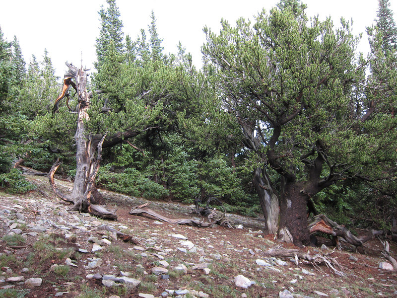 Encountering Bristlecone forest near treeline - the heartiest and oldest trees on earth.