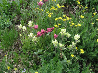 Wildflower Delights: Crested Butte & Handies Pk, 7/22-23/10