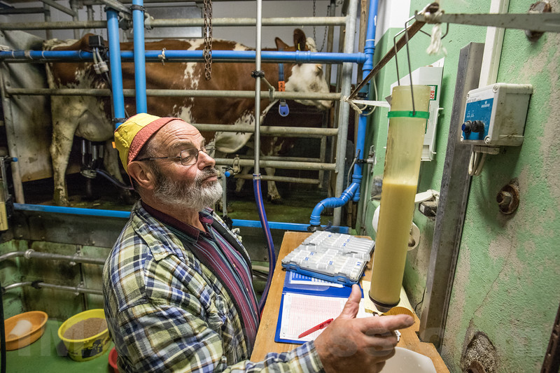 Milchmessung<br /> <br /> Wer heute Viehzucht betreibt, kann sich nicht mehr nur auf äussere Eindrücke verlassen. Für eine erfolgreiche Zucht ist, neben einem noch immer notwendigen «Gespür», die Kenntnis verschiedenster, den Zuchterfolg beeinflussender Merkmale unverzichtbar. Dazu gehört, neben der Milchmenge, auch die Milchqualität. Seit den frühen 1920er Jahren wurden von den Zuchtviehverbänden, zuerst noch freiwillig, Milchmessungen angeboten. Heute sind diese, für alle einem Zuchtverband angeschlossenen Milchwirtschaftsbetriebe, Pflicht. Jeden Monat Jahr besucht der vom Verband angestellte und geschulte Milchmesser die Betriebe, um die Tagesmilchmenge jeder Kuh zu messen und von jeder Kuh eine Milchprobe zu entnehmen. Aus diesen wird dann in entsprechend eingerichteten Laboratorien der Gehalt an Milchfett und Eiweiss bestimmt und die Zellzahl gemessen. Alle diese Massnahmen helfen, qualitativ hochwertige Milch abzuliefern, die an den Milchsammelstellen von den jeweiligen Milchhandelsorganisationen mit ihren Tankfahrzeugen abgeholt wird © Patrick Lüthy/IMAGOpress.com / Text: Max Misteli