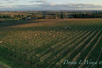 Sheep grazing in Sokol Blosser vineyards_2157