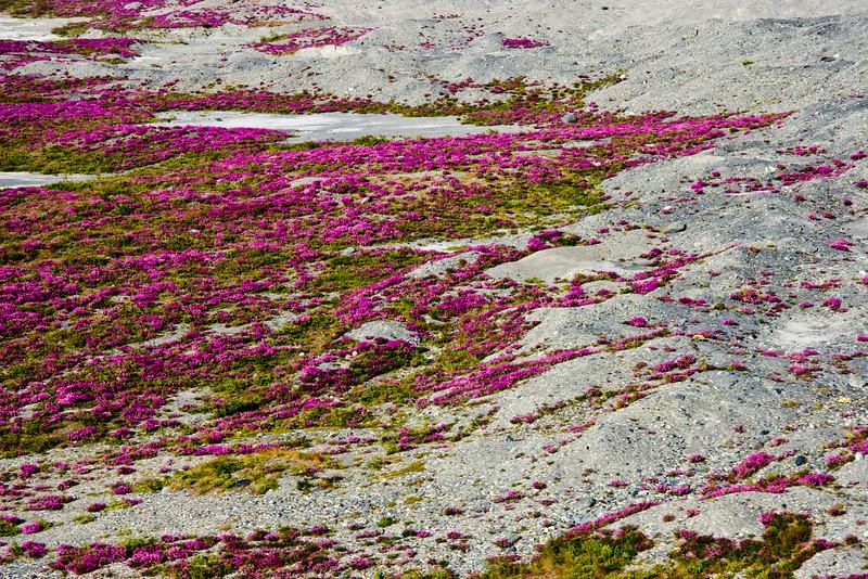 Flowers at base of Knik glacier.