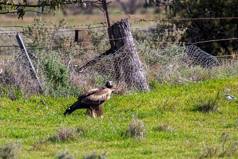 Wedge Tailed Eagle (Aquila audax)