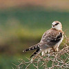 Black-Shouldered Kite (Elanus axillaris) Juvenile