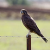 Brown Falcon (Falco berigora)