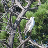 White-Bellied Sea-Eagle (Haliaeetus leucogaster)
