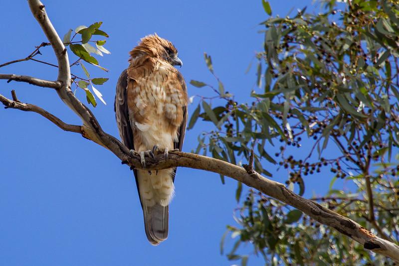 Little Eagle (Hieraaetus morphnoides)